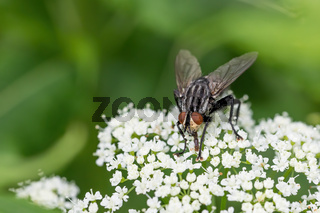 Common green bottle fly, insect wildlife