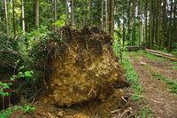 Umgestürzte Fichte in einem Fichtenwald