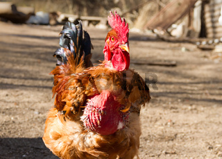 portrait of the naked neck rooster in the poultry house