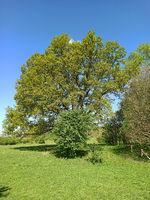 Alte Eiche in Schleswig-Holstein