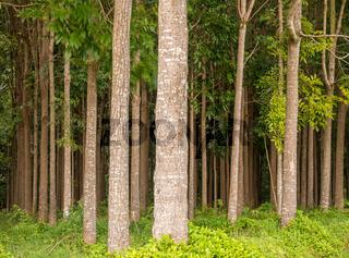 Mahogany plantation and the Wai Koa Loop trail in Kauai, Hawaii