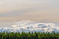 Beautiful abstract evening skies above a corn field as a background photo