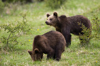 Cute brown bear cubs feeding and looking in a green nature habitat in springtime