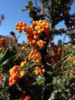 gelbe Blüten von Darwins Berberitze (Berberis darwinii)