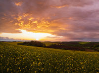 Spring sunset rapeseed yellow blooming fields