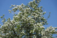 Pyrus communis, Wildbirne, Wild Pear