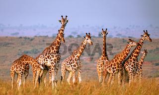 Rothschild-Giraffen im Murchison Falls Nationalpark Uganda (Giraffa camelopardalis rothschildi) | Ugandan giraffe, Murchison Falls National Park Uganda (Giraffa camelopardalis rothschildi)