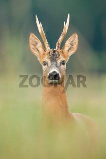 Roe deer buck looking to the camera on meadow from close up.
