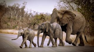 Elefantengruppe quert die Straße im Kruger Nationalpark Südafrika; elephants crossing the street at Kruger NP, south africa