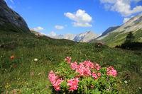 alpenrosenbusch und blumen im hochgebirge