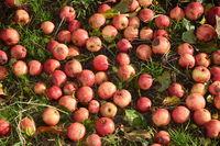 Äpfel auf einer Wiese