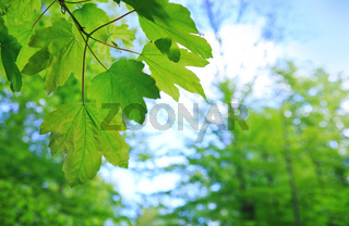 Fresh green maple leaves isolated on a sky background.