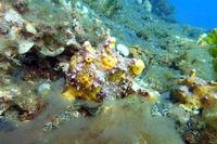 Antennarius maculatus - Warzen-Anglerfisch, Clown-Anglerfisch