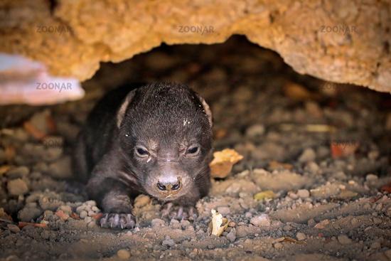 Sehr junge Tüpfelhyäne, Liwonde NP, Malawi (Crocuta crocuta)    very young spotted hyena, Liwonde NP, Malawi (Crocuta crocuta)