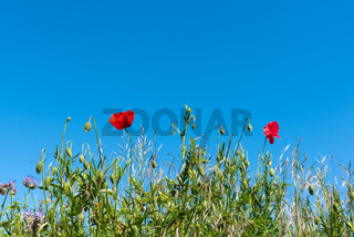 Mohnblumen mit blauem Himmel | Poppies with blue sky