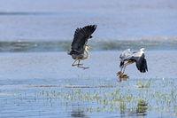 Zwei Graureiher streiten immer wieder um die besten Plaetze fuer den Fang von Fischen