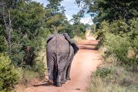 African elephants walking away on a road.