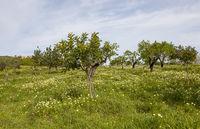 Blumenwiese mit Mandelbäumen und Steineichen