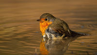Cute european robin bathing in water from side low angle view