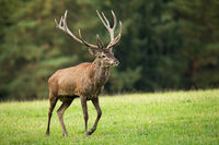 Red deer stag walking on meadow in autumn nature.