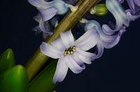 Blüte einer blühenden Hyazinthe