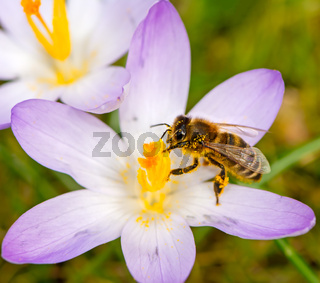 Flying bee at a purple crocus flower blossom