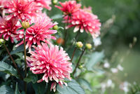 Pink chrysanthemum flowers close up photo