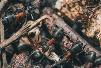 forest ants team carry out their work in an anthill. A perfect example of teamwork. Selective focus macro shot with shallow DOF
