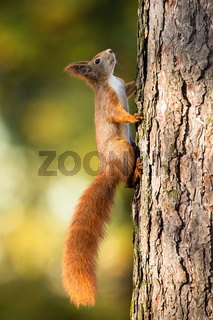 Red squirrel climbing up a pine tree in sunlight with green blurred background