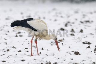 Weißstorch im Winter, Ciconia ciconia, Deutschland