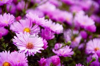 Small garden Astra flowers.
