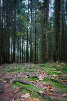 Dunkler Fichtenwald im Herbst