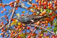 Starling eats fruits hidden in apple tree