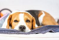 Beagle dog tired sleeps on a cozy sofa outdoors