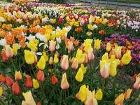 Tulipa French Blend Rose, Tulpenbluete