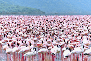 Rosa Zwergflamingos am Bogoria See, Rift Valley