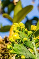 Kaktus der Gattung Brasiliopuntia brasiliensis