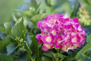 Hortenise rosa