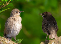 Two young starling birds