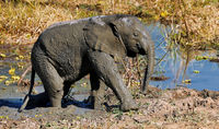 Junger Elefant im Matsch im South Luangwa Nationalpark, Sambia, (Loxodonta africana) |  young Elephant in the mud at South Luangwa National Park, Zambia, (Loxodonta africana)