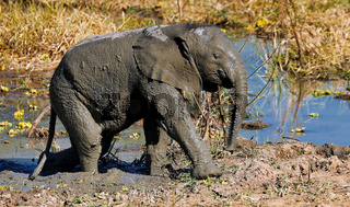 Junger Elefant im Matsch im South Luangwa Nationalpark, Sambia, (Loxodonta africana) |  young Elephant in the mud at South Luangwa National Park, Zambia, (Loxodonta africana)