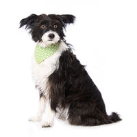 Chinese crested powderpuff dog iwith neckerchief