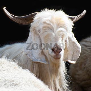 White kashmir goat from Indian highland farm