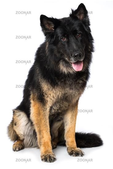 German shepherd dog on white background
