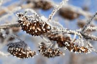 Tree branch covered with frost