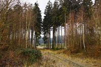 kleiner Fichtenwald mit Weg