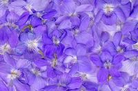 Hintergrund aus durcheinander liegenden kleinen, violetten Veilchenblüten ohne Stiel und Blätter