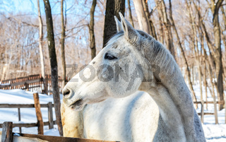 Head of white horse at the farm in winter
