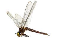 Große tote Libelle liegt mit ausgebreiteten Flügeln auf der Seite vor weißem Hintergrund