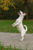 Terrier standing on its hind legs